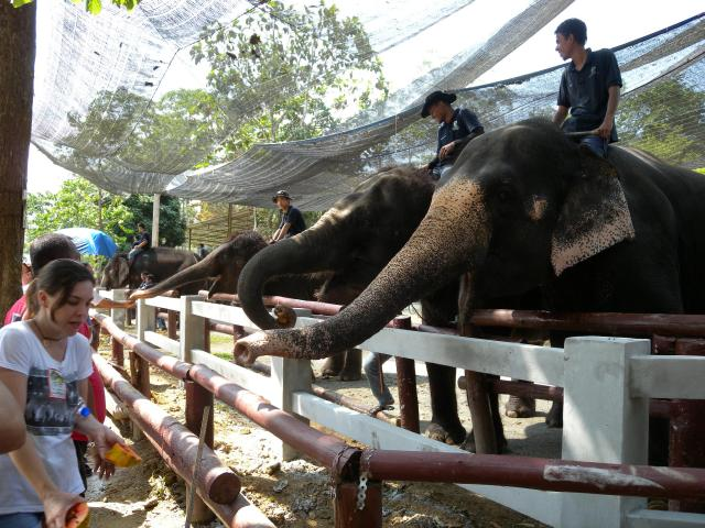 Asian elephants at the Kuala Gandah Elephant Conservation Centre